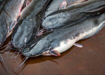 Cost of Feeding 1,000 Catfish in Nigeria (May 2021)