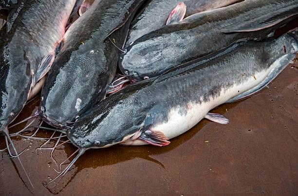 Cost of Feeding 1,000 Catfish in Nigeria