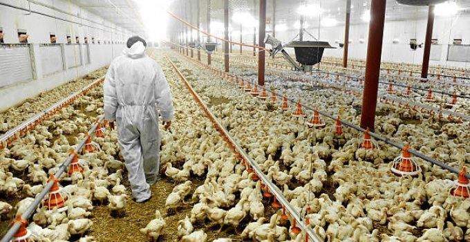 Poultry Farming Business in Nigeria & Cost of Starting (2021)